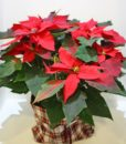 Χριστουγεννιάτικες συνθέσεις λουλουδιών-80